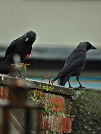 crows and cousins